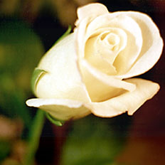 Single Flower, White Rose