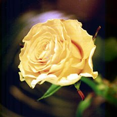 Single Flower, Yellow Rose
