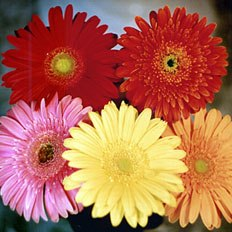 Collect a bouquet of gerbera | FTD gerbera in ,  Ukraine